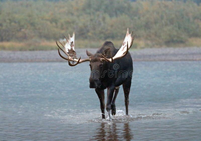 Älg för vuxen människaShiras tjur som går nära kust av Fishercap sjön i många glaciärregion av glaciärnationalparken i Montana US arkivfoto