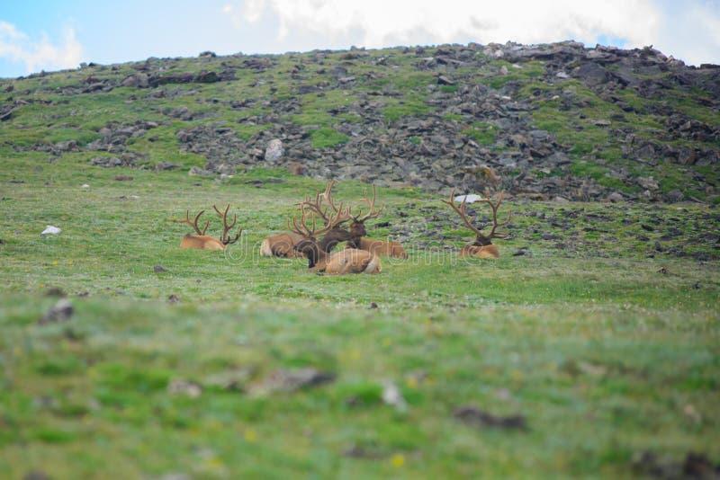 Älg på det steniga berget colorado royaltyfria foton