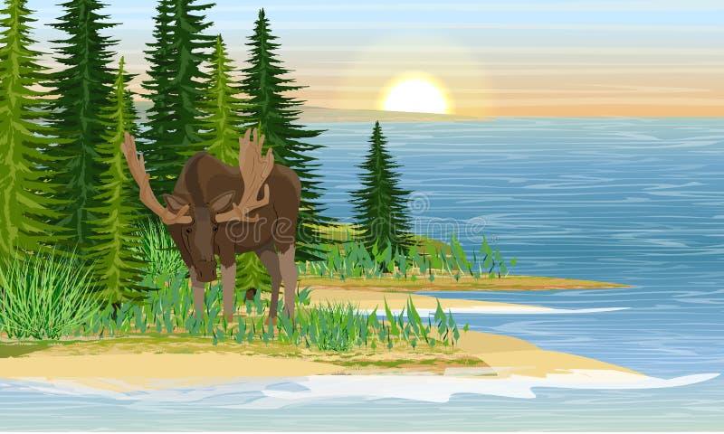 Älg på kusten av en stor skogsjö Sandig strand med gräs- och granträd stock illustrationer