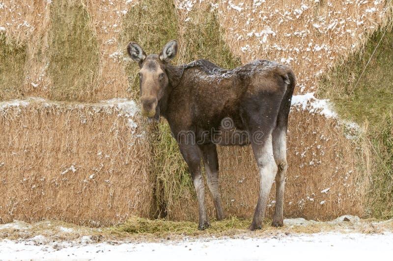 Älg som äter alfalfa i en Montana Haystack arkivbilder