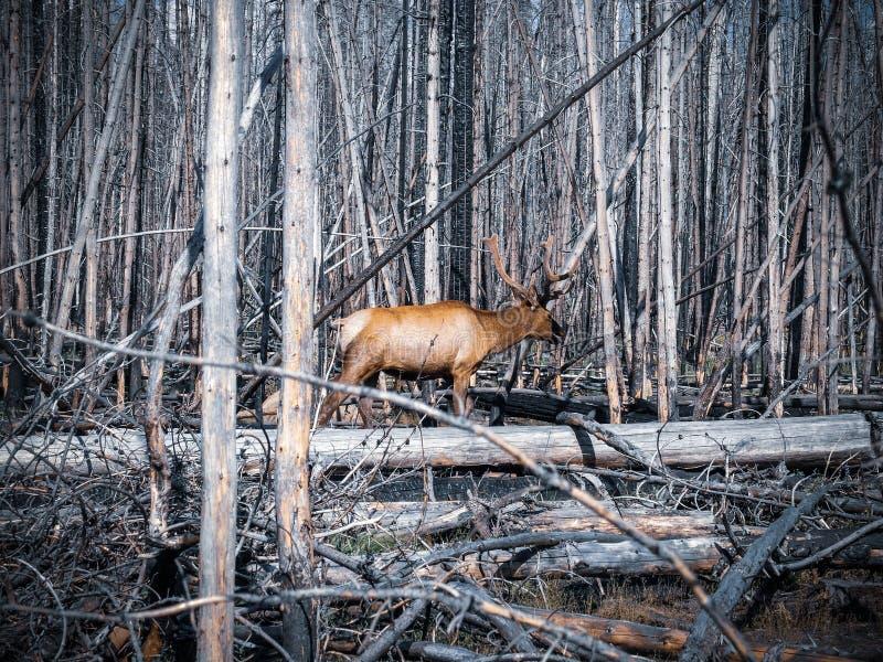 Älg som går i döda träd arkivfoto