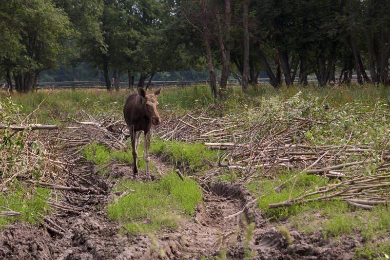 Älgen för går i reserven på kanten av skogen arkivbilder