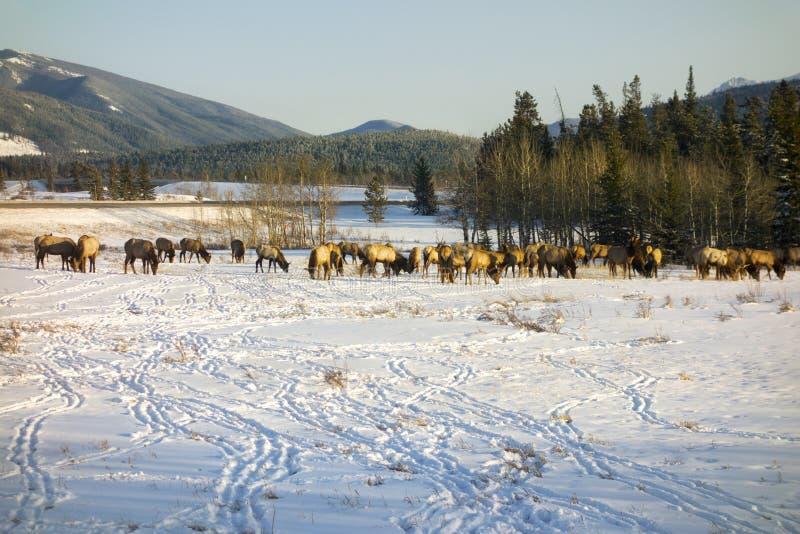 Älgflocken som matar i tidig vår på snö, täckte Alberta Foothills arkivbilder
