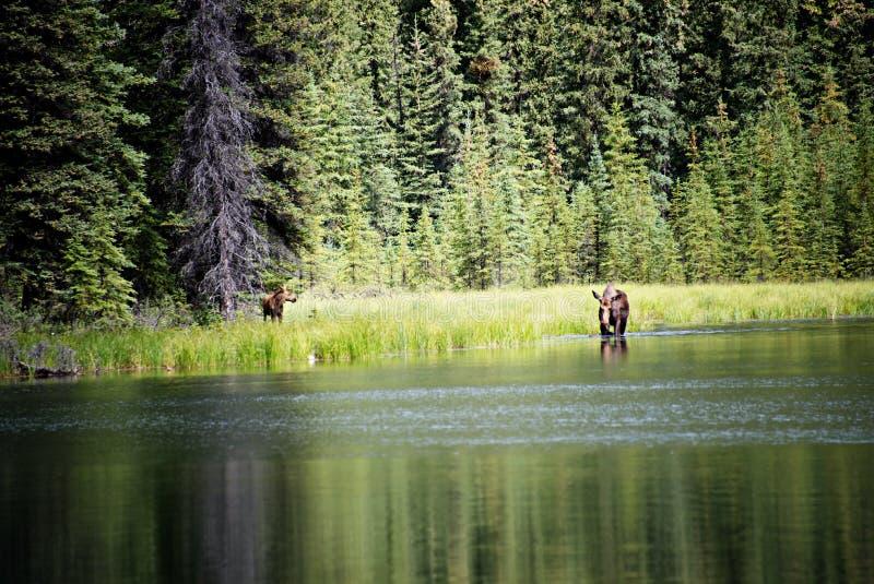Älgko och kalv som matar i sjön royaltyfri foto