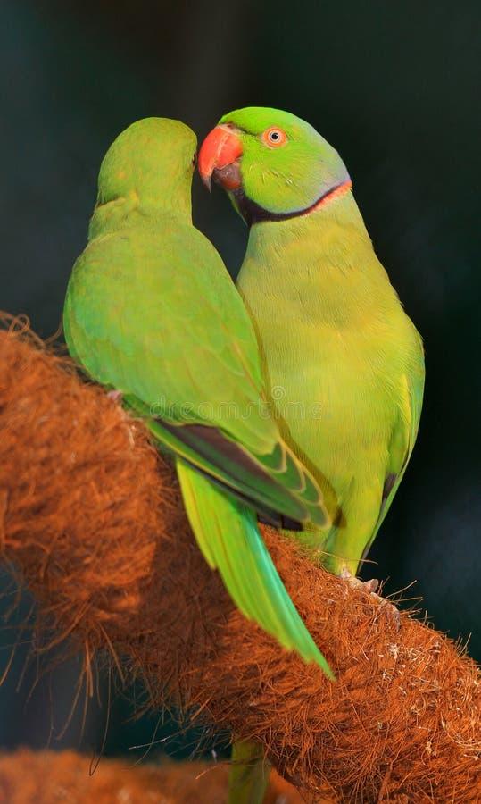 älska framställning av papegojor arkivfoto