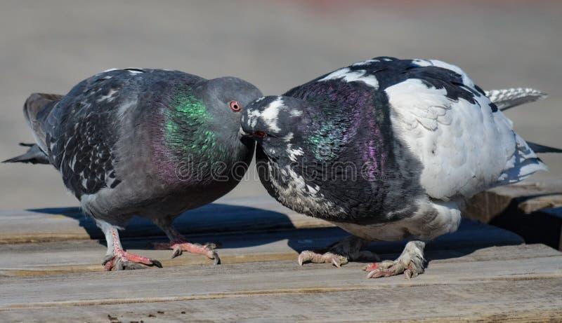 Älska par av fåglar duvor arkivbild