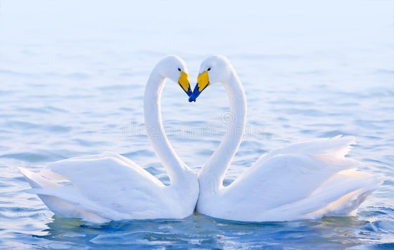 älska swans royaltyfri fotografi