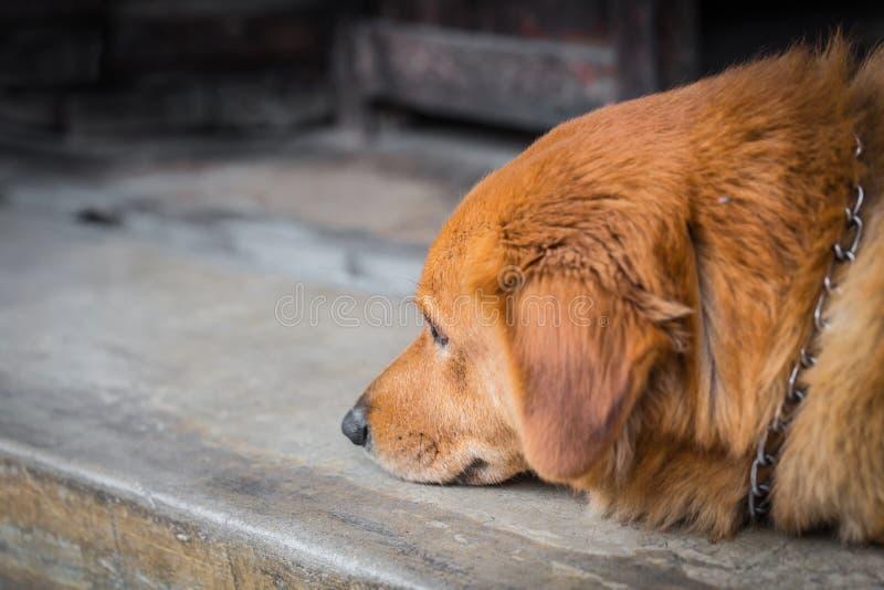 Älsklings- deprimerande oordning för hund fotografering för bildbyråer