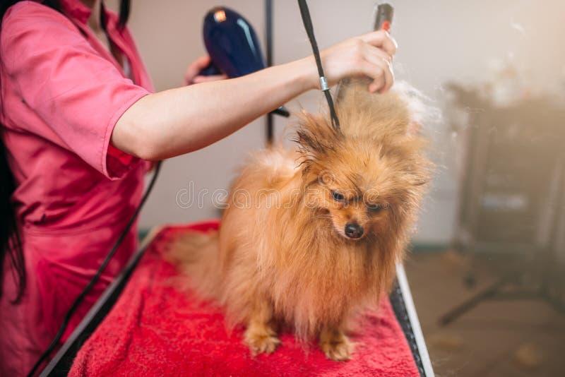 Älsklings- groomer med hårtorken, hund, i att ansa salongen royaltyfria bilder