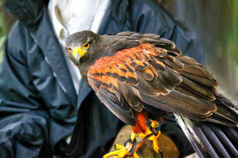 Älsklings- Harris Hawk Used i sporten av falkenerarkonst arkivfoton