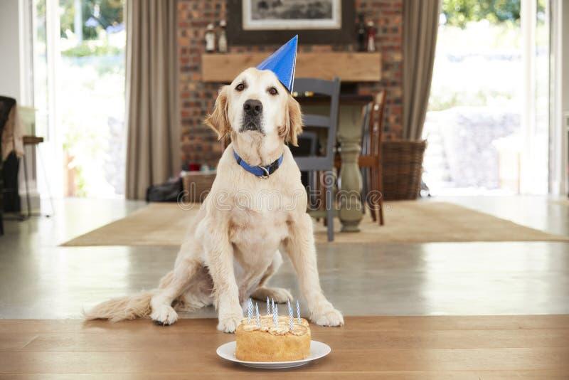 Älsklings- labrador hund som hemma firar födelsedag royaltyfri foto