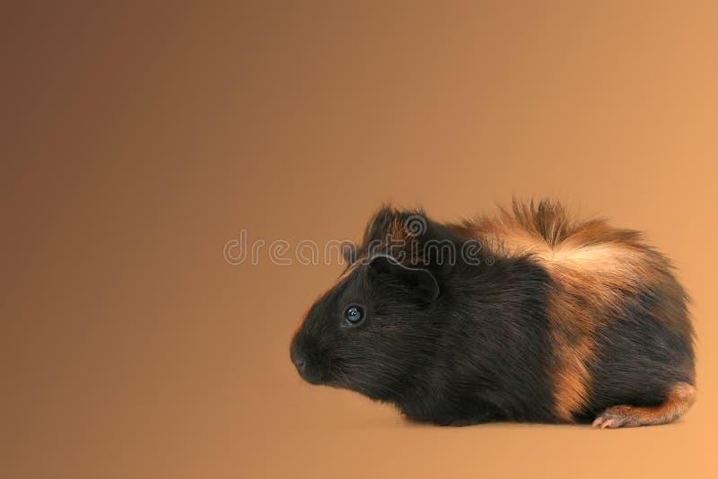 älsklings- Pig För Dr Fuzz Guinea Royaltyfria Bilder