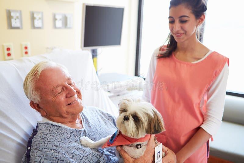 Älsklings- terapihund som besöker den höga manliga patienten i sjukhus royaltyfri bild