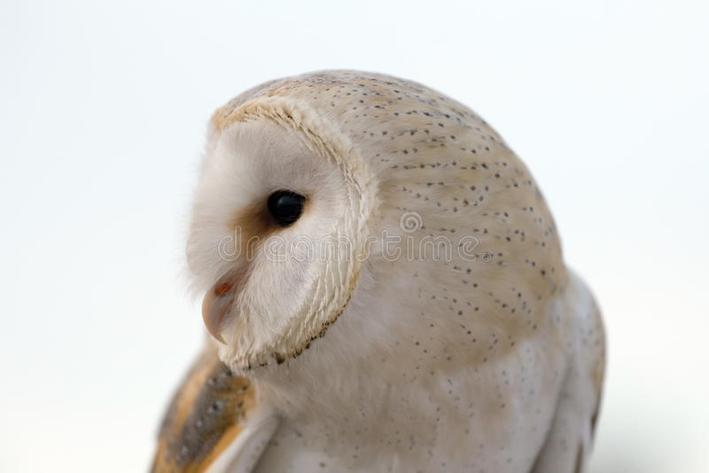 Älsklings- uggla arkivfoto