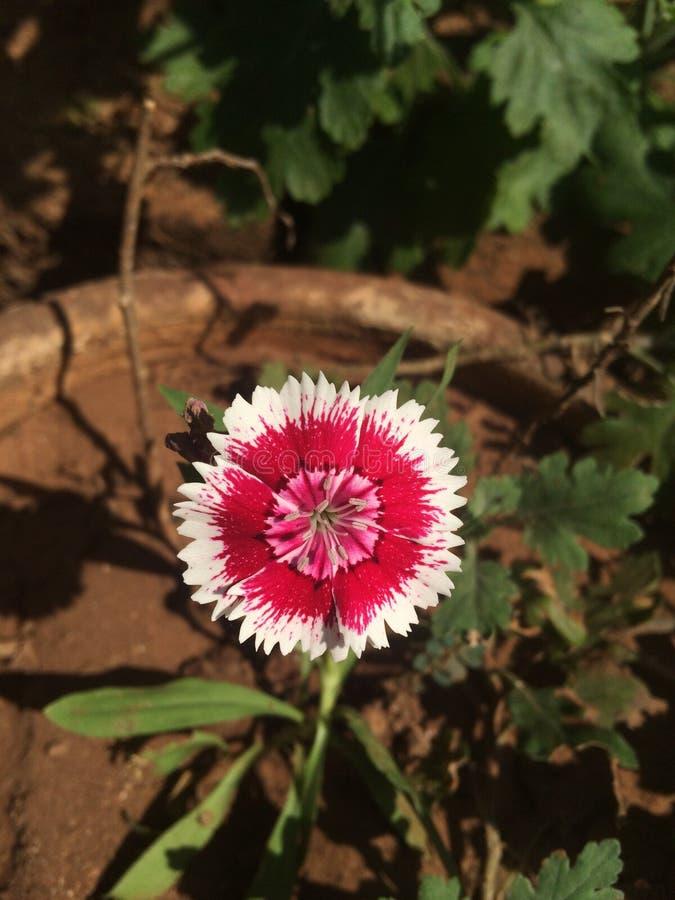 älskvärd blomma royaltyfria bilder