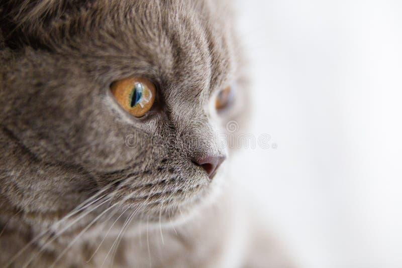 Älskvärd brittisk kattframsida som ser in i fönstermakro arkivfoton