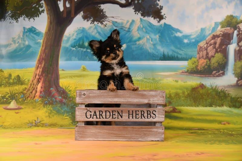 Älskvärd chihuahuahund i trädgården arkivbilder