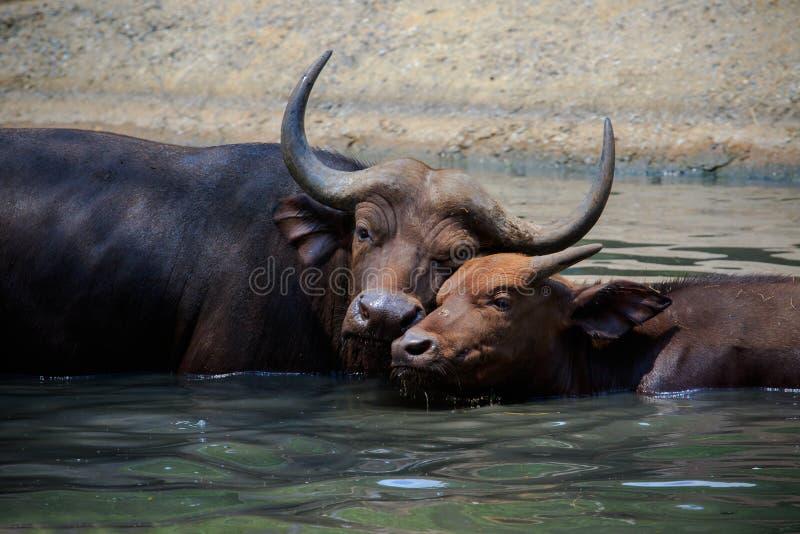 Älskvärd framsida av den lösa afrikanska buffeln för moder och för ung unge i wate arkivbilder