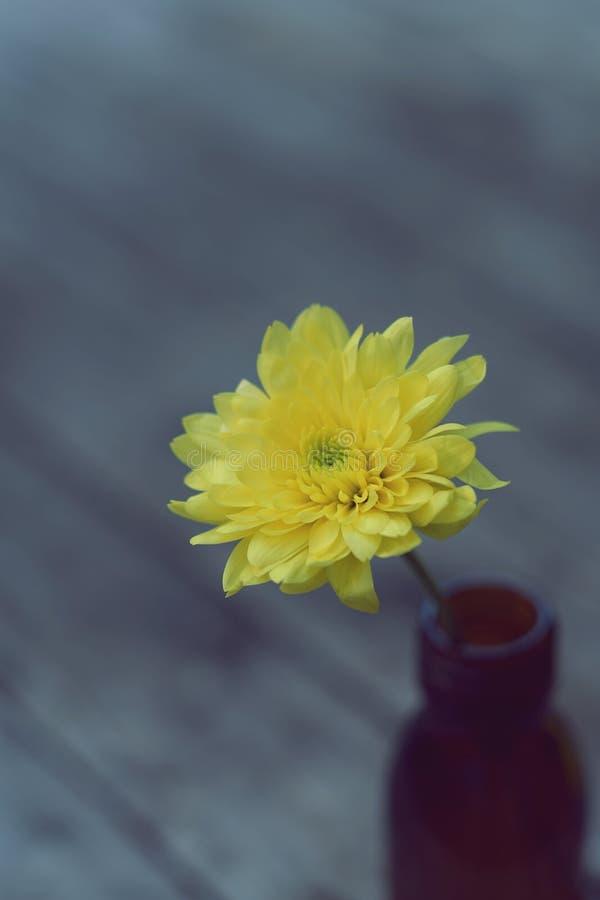 Älskvärd gul blomningkrysantemum i vas på trätabellen med vit väggbakgrund, stillebenbegrepp royaltyfri foto