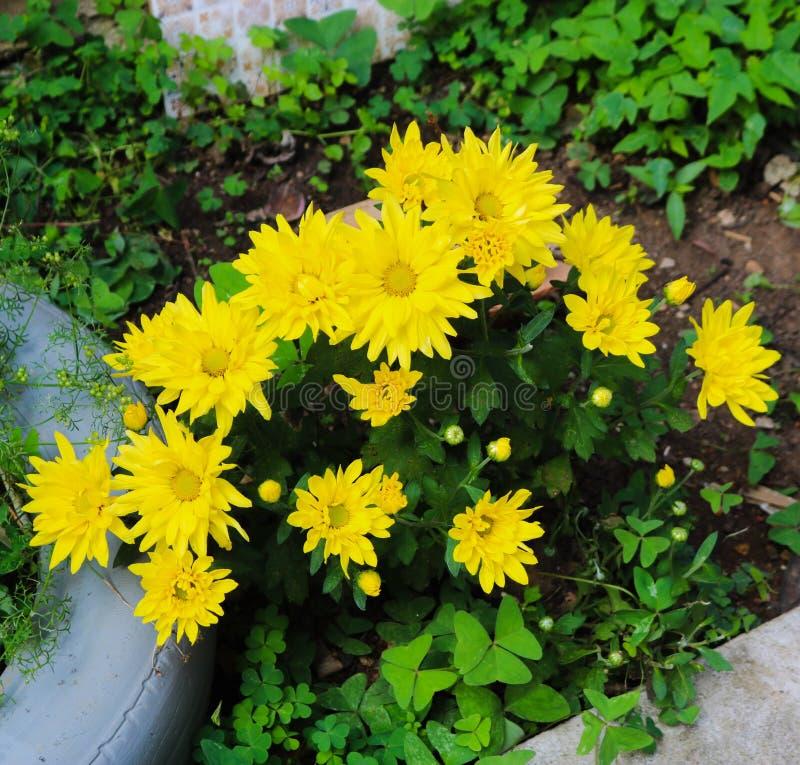 Älskvärd gul växt i trädgården av huset royaltyfri bild