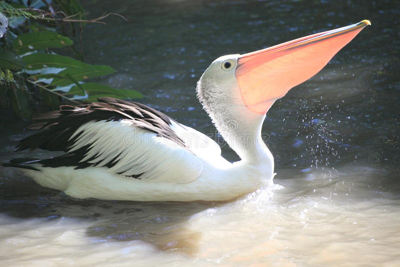 älskvärd pelikan för rösen arkivbild