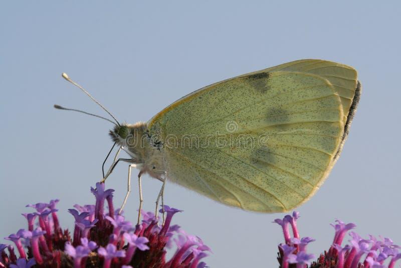 älskvärd purpur white för fjärilskålblomma arkivbild