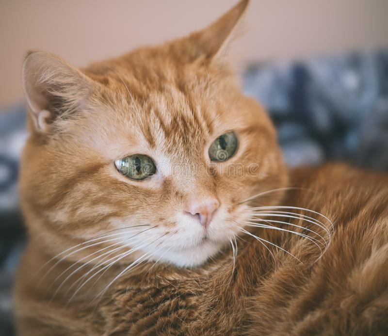 Älskvärd röd katt fotografering för bildbyråer
