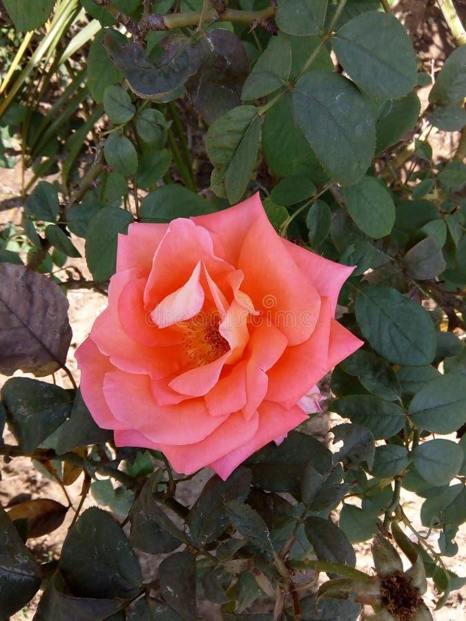 Älskvärd rosa färgros royaltyfri bild