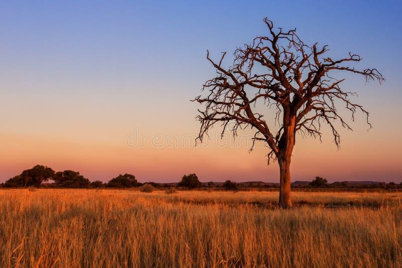 Älskvärd solnedgång i Kalahari med det döda trädet arkivbilder