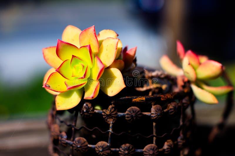 Älskvärd suckulent växt arkivfoto