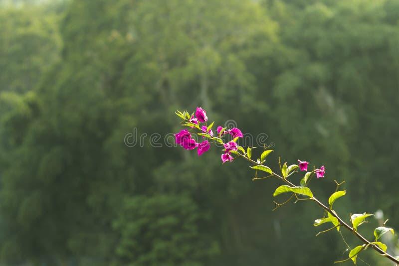 Älskvärd tropisk purpurfärgad blomma med Bokeh bakgrund arkivfoton