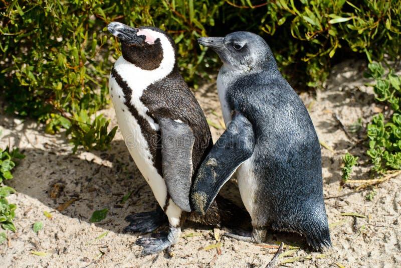 Älskvärda afrikanska pingvin fotografering för bildbyråer