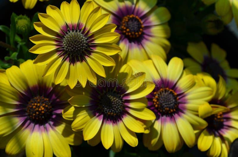 Älskvärda blomningar av gula och violetta uddetusenskönor fotografering för bildbyråer