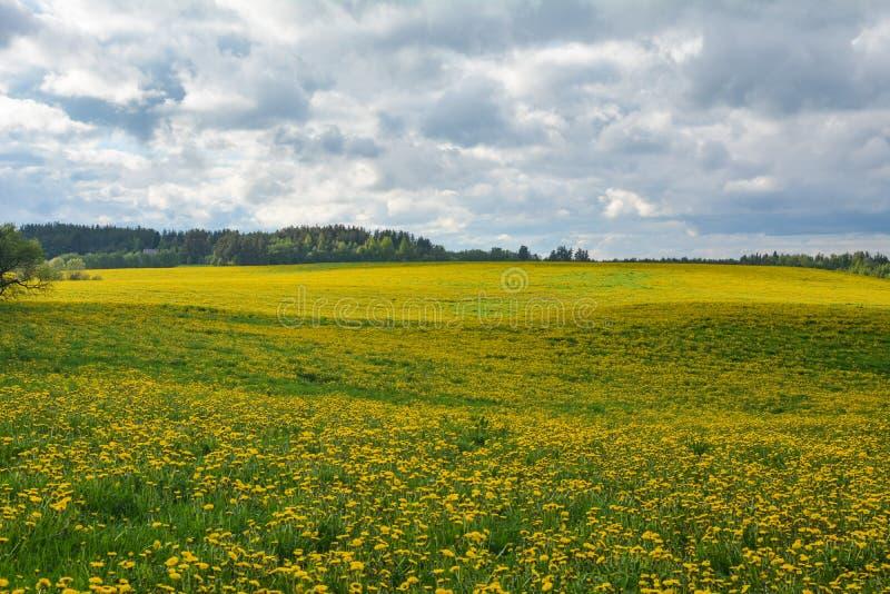 Älskvärda maskrosor på ett fält under en molnig himmel royaltyfri foto