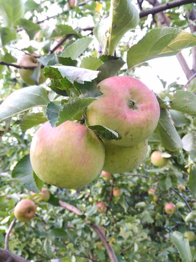 Älskvärda mogna äpplen med gröna sidor i trädgården arkivfoton