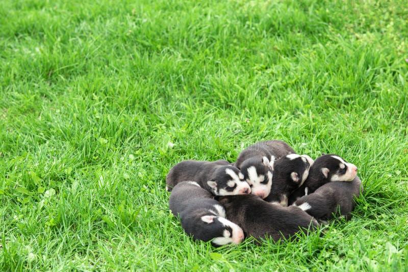 Älskvärda nyfödda Husky Puppies royaltyfri fotografi