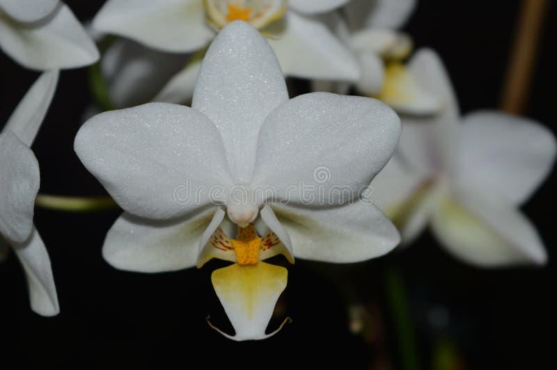 Älskvärda små vita orkidésken arkivbilder