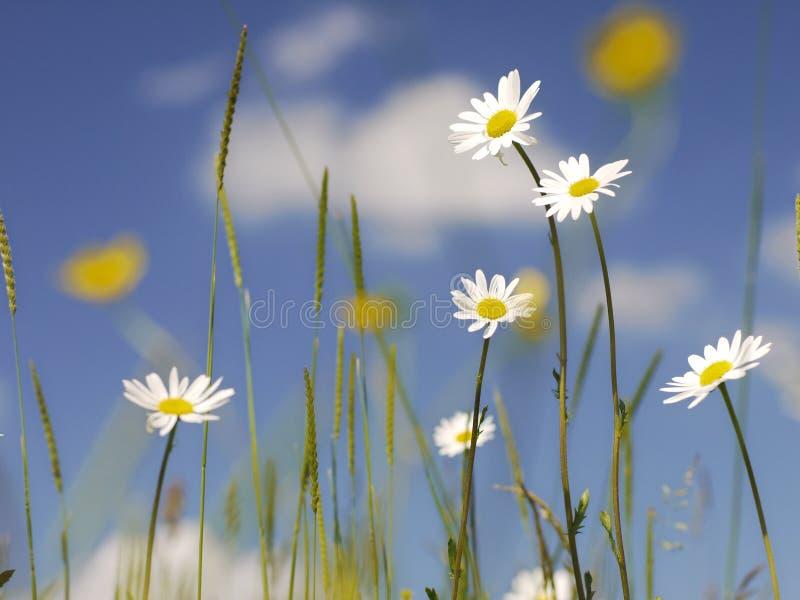 Älskvärda tusenskönor med blåa Skies, vita pösiga oklarheter arkivbild