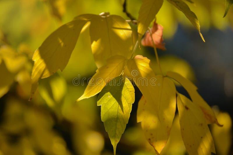 Älskvärt ljus och skugga på guling- och gräsplansidorna på filialen Solig dag för höst ljus skugga Varm höst royaltyfri fotografi