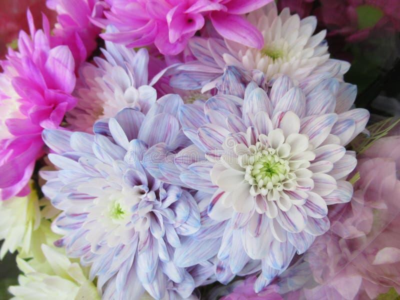 Älskvärt ljust attraktivt ljus - blåa Dahlia Flowers Bouquet arkivbild
