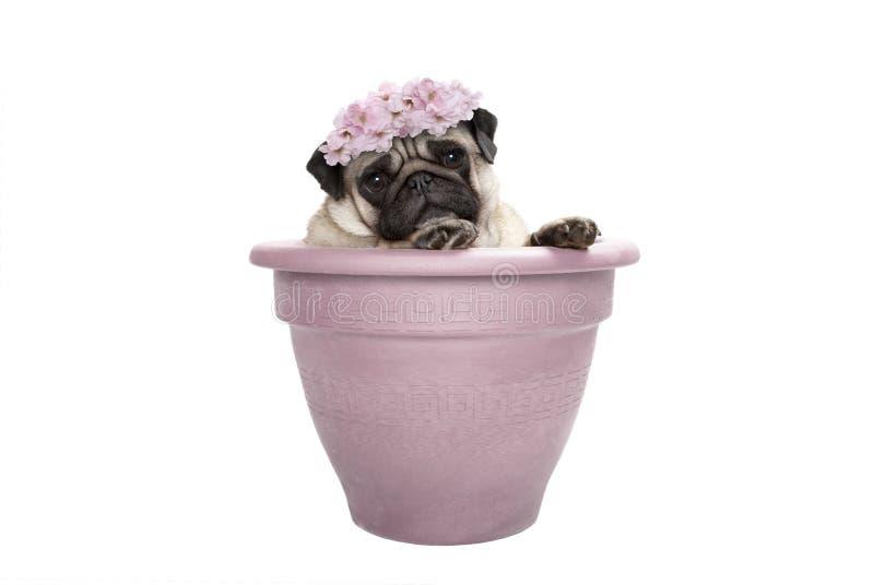 Älskvärt sött mopshundsammanträde i växtkrukan, bärande gräns - rosa färgen blommar diademen royaltyfria bilder