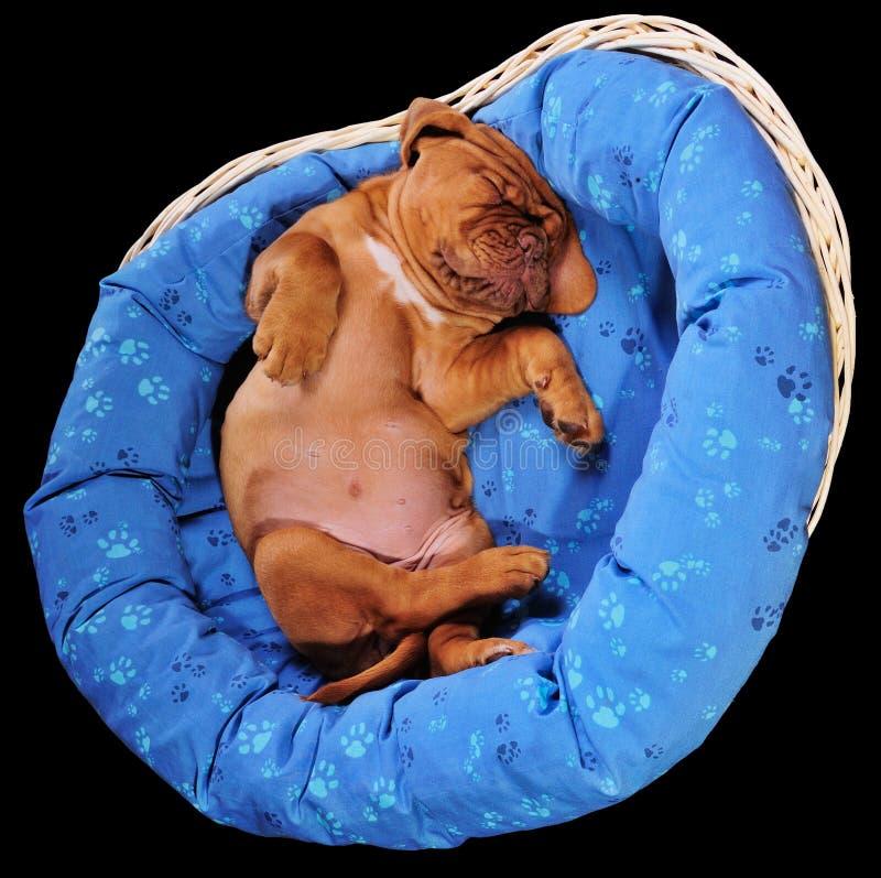 älskvärt sova för valp fotografering för bildbyråer