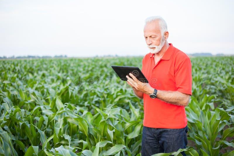 Ältere Agronomen- oder Landwirtstellung auf dem Maisgebiet und Anwendung einer Tablette lizenzfreies stockfoto