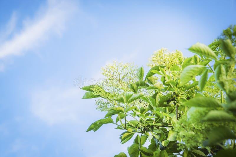 Ältere Blüte auf Hintergrund des blauen Himmels stockfoto