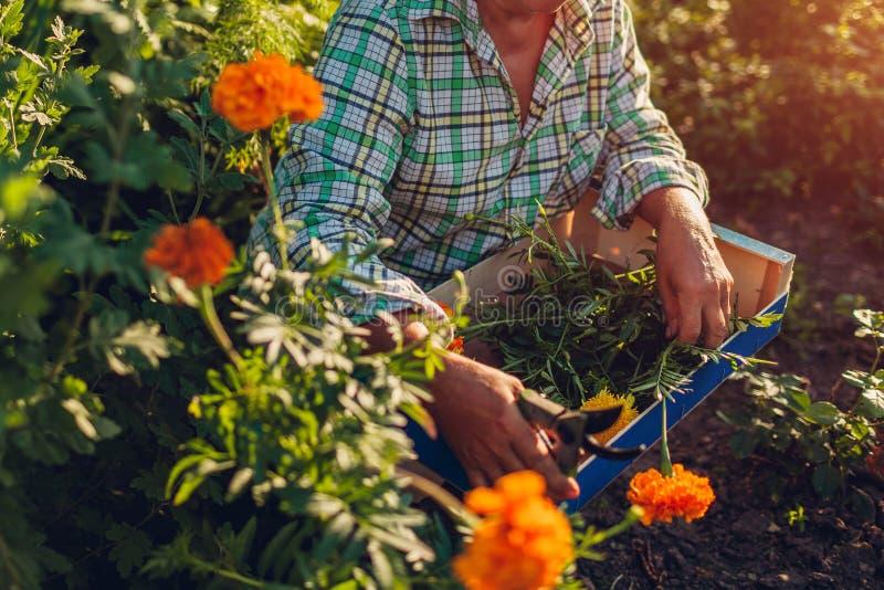 Ältere Frau, die Blumen im Garten erfasst Ältere Frauenausschnittblumen im Ruhestand mit pruner stockbild