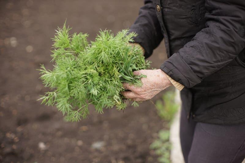 Ältere Frau, die eine junge Grünpflanze in den Händen vor dem hintergrund eines terrestrischen Gemüsegartens hält stockfotos