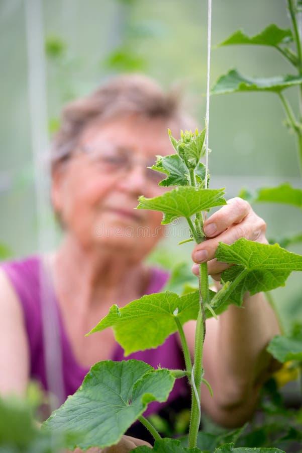 Ältere Frau, die Gurkenanlagen am Gewächshaus überprüft stockfoto