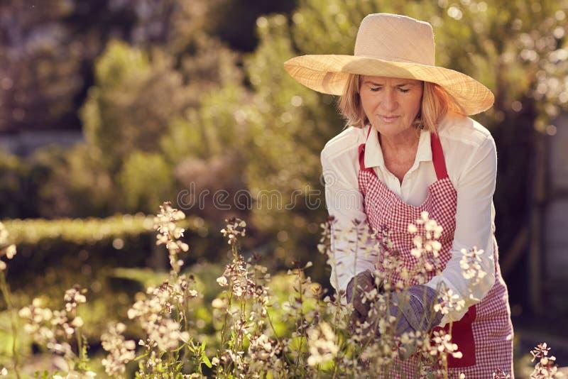 Ältere Frau, die ihre Raketenkrautanlagen im Garten beachtet stockbild