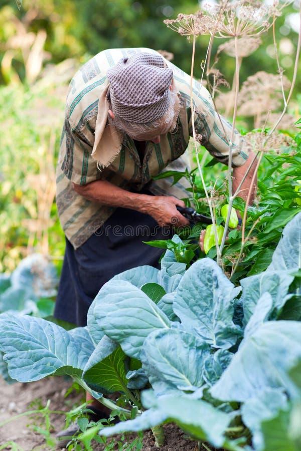 Ältere Frau im Gemüsegarten stockfotografie