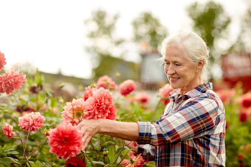 Ältere Frau mit Dahlie blüht am Sommergarten lizenzfreie stockfotos